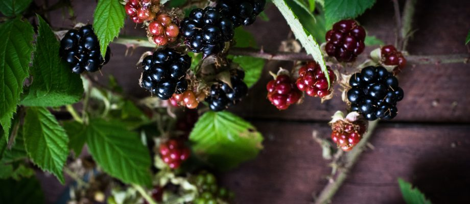 The Best Blackberry Recipes and Tips for Berry Picking